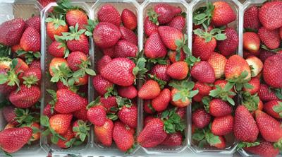 תותים ועגבניות שרי